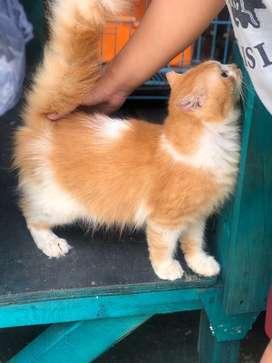 Kucing persia medium 1th jantan
