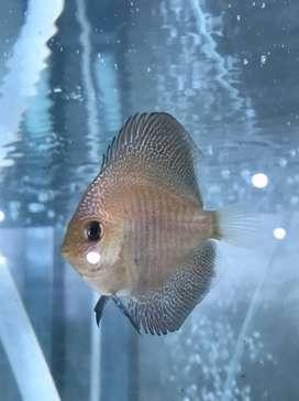 Ikan Hias Discus LSS