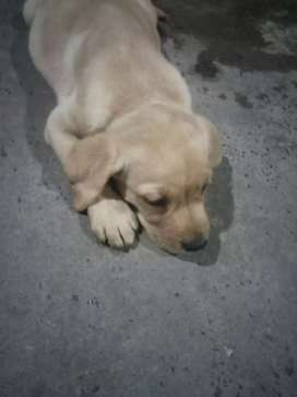 Labra dog puppy for sale female