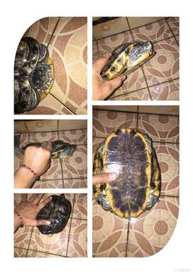 Kura kura brazil dan ambon batok jawa