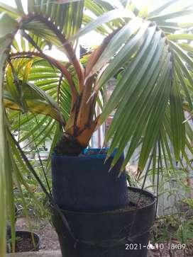 Bibit kelapa gading bahan bonsai kelapa