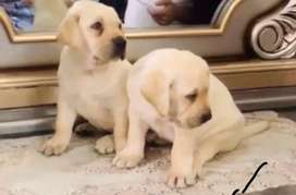 Pedigree microchip lab puppies Parents are important breakers