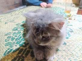 Persia kitten murah