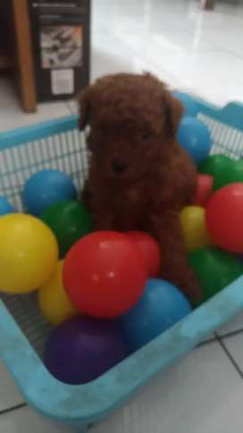 Jual Puppy Red Toy Poodle