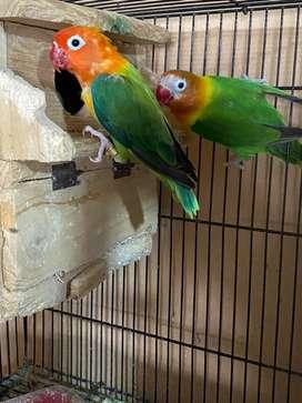 Lovebird split bio x bio