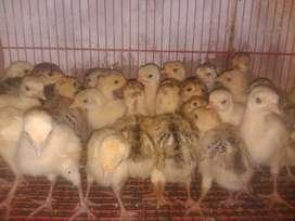 Anakkan ayam kalkun