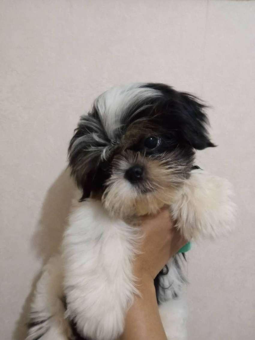 Anjing Shihtzu puppy (BUKAN MIX) MALE jual cepat