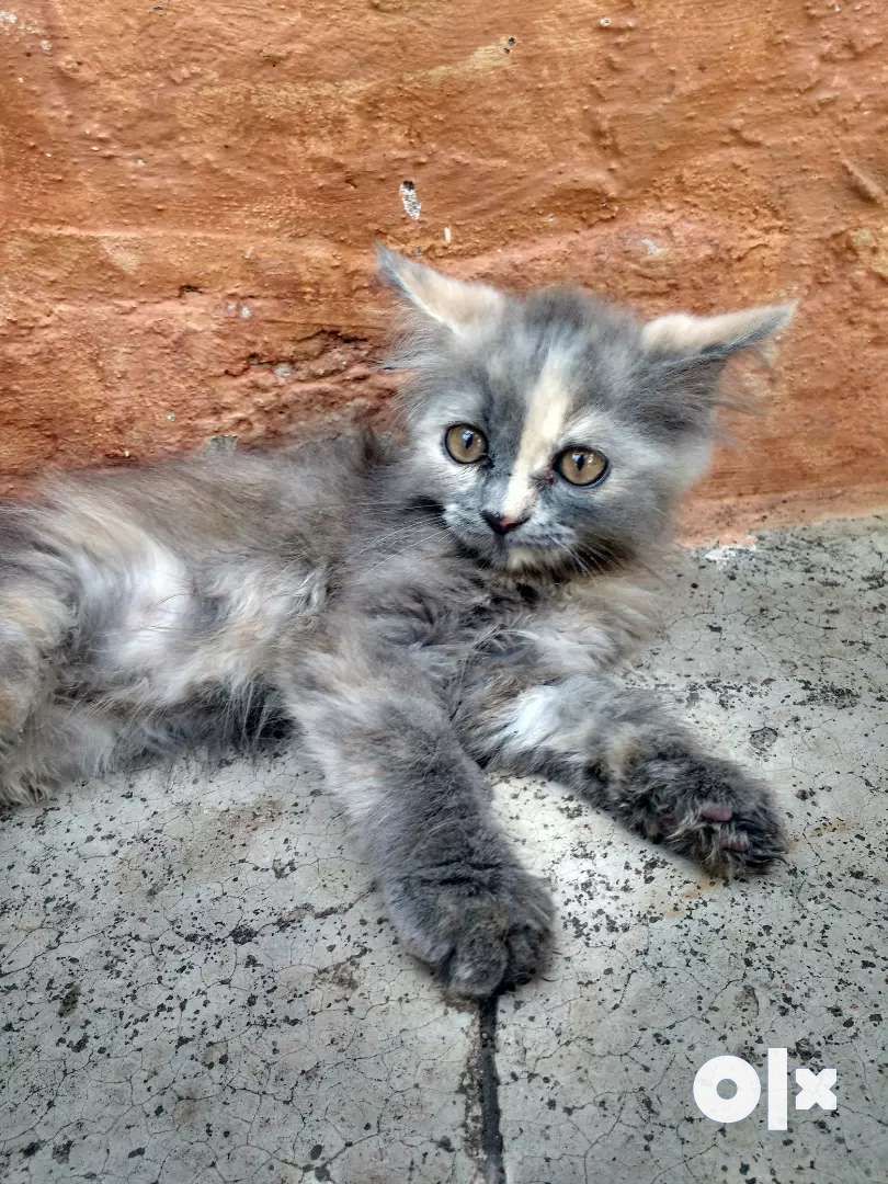 I want sell my Persian kitten 0