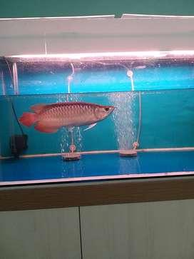 arwana super red semi sb kurleb 28cm