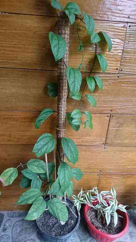 Turus atau rambatan tanaman serabut kelapa