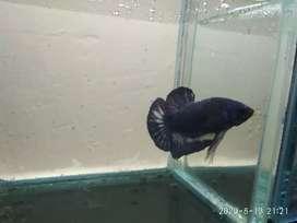 Ikan cupang hias/Betta fish