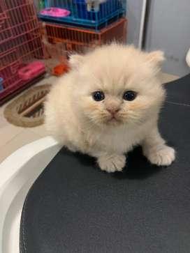 Adopsi Kitten Lucu Persia