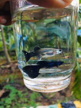 Electric blue guppies