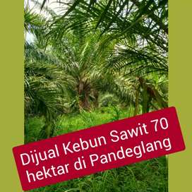 DIJUAL ! 1Hamparan 70 Hektar Kebun Sawit Produktif, Pandeglang,Banten