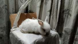 Red eyes gaint angora bunnies and adults pair for sale
