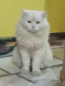 White Persian cat 1 years
