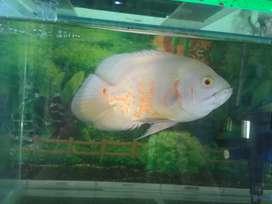Ikan Oscar Albino
