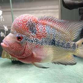 Red Magma flowerhorn for sale