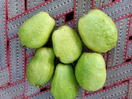 Guave plants(china gola) two time fruiting per year