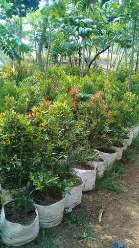 jual pohon pucuk merah tigi 1 mtr