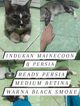 Kucing Persia Abu Smoke