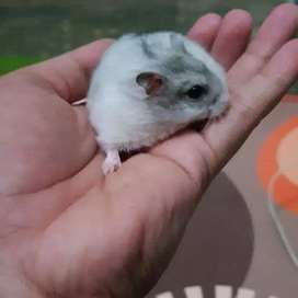 Hamster whinter