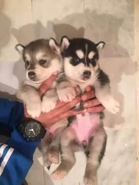Siberian husky puppies available for new homes