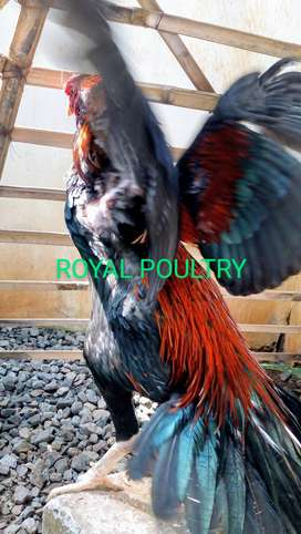 Ayam Pelung | Bangkok ekor lidi | Kampung konsumsi