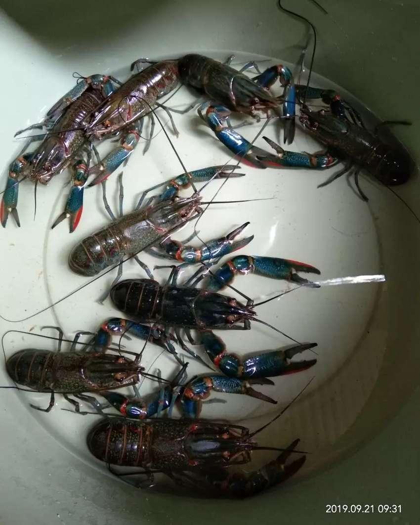Lobster air tawar 0