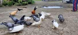Burung merpati ,