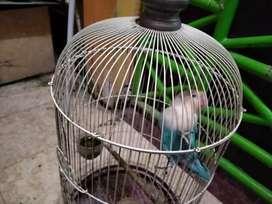 Burung Lovebird cobal fc (burtok)