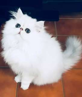 A1 quality Persian kittens for sale