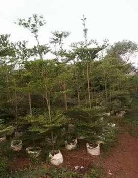 Jual tanaman peneduh, pohon ketapang kencana