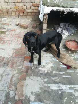 Pointer dog for sale well traind and friendly