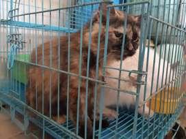 oper adopt kucing persia