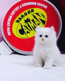 Persian kitten available Triple coated
