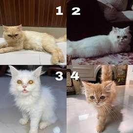 Kucing Persian Peaknose