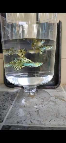 Hybrid guppies for sale