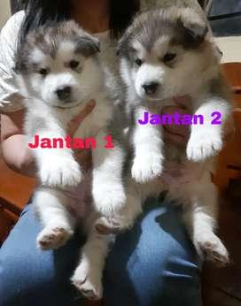 Puppy Anjing Alaskan Malamute Lucu2