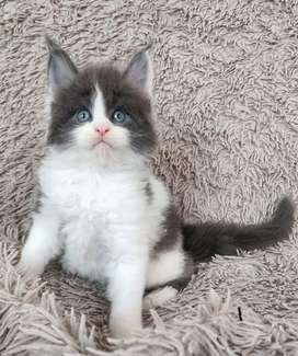 available mainecoon import male for booking