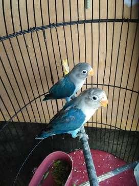 Lovebird lb lakbet love bird balibu