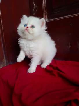 Punch face male female Available persian kitten