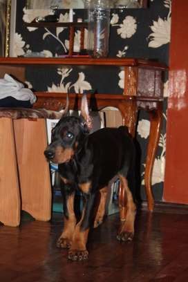 Doberman puppies ready to import