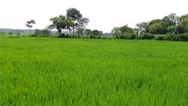 Agriculture Land, highly Cultivated , with Good Crops Ratio