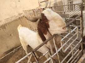 This is five goats three female and to male and one by by female