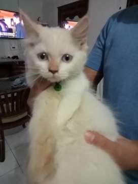 Kitten persia usia 3 bulan