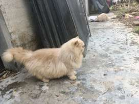 Persian cats male