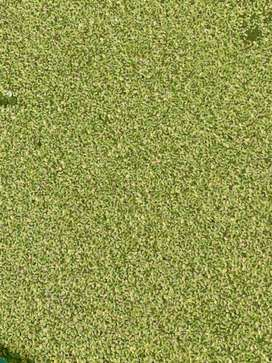 Duckweed guppy chunks used in Aqurium For shelter ponds and Fish farm