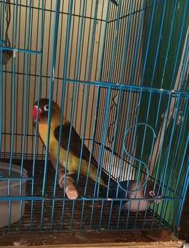 lovebird fullset siap ternak