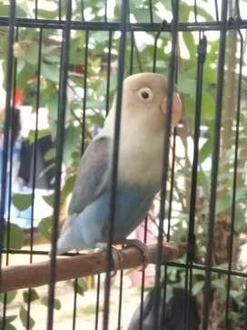 Lovebird pastel vio paud